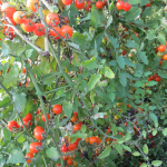 Tomates cerise de serre - Greenhouse Cherry Tomatoes