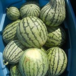 Melon d'eau - Watermelon