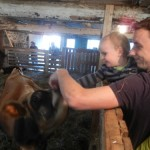 Gros veau / A Big Calf (Gillian Murray)