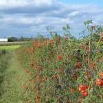 Tomates cerise / Cherry Tomatoes (Suzanne Tremblay)