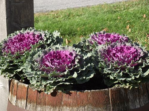 FIN (Kale) - END (Flowering Kale)