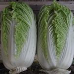 Chou chinois - Chinese Cabbage