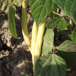 Haricots jaunes - Wax Beans