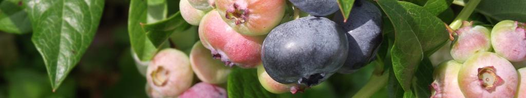 Bleuets pas mûrs - Unripe blueberries_S