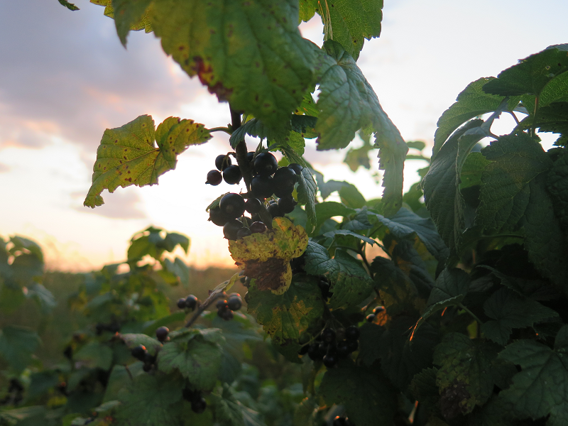 Cassis au soleil couchant - Black Currants at Sunset