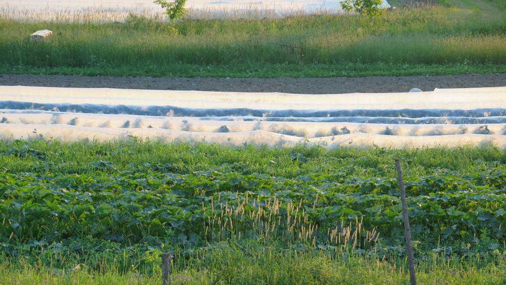 Champ de cucurbitacées au crépuscule - Cucurbit Field at Dusk