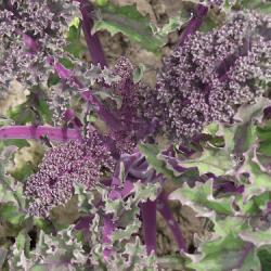 Chou frisé rouge - Red Kale