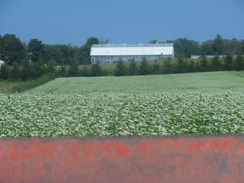Engrais vert, sarrasin - Green Manure, Buckwheat