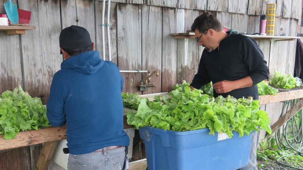 Préparation laitue - Lettuce Prep