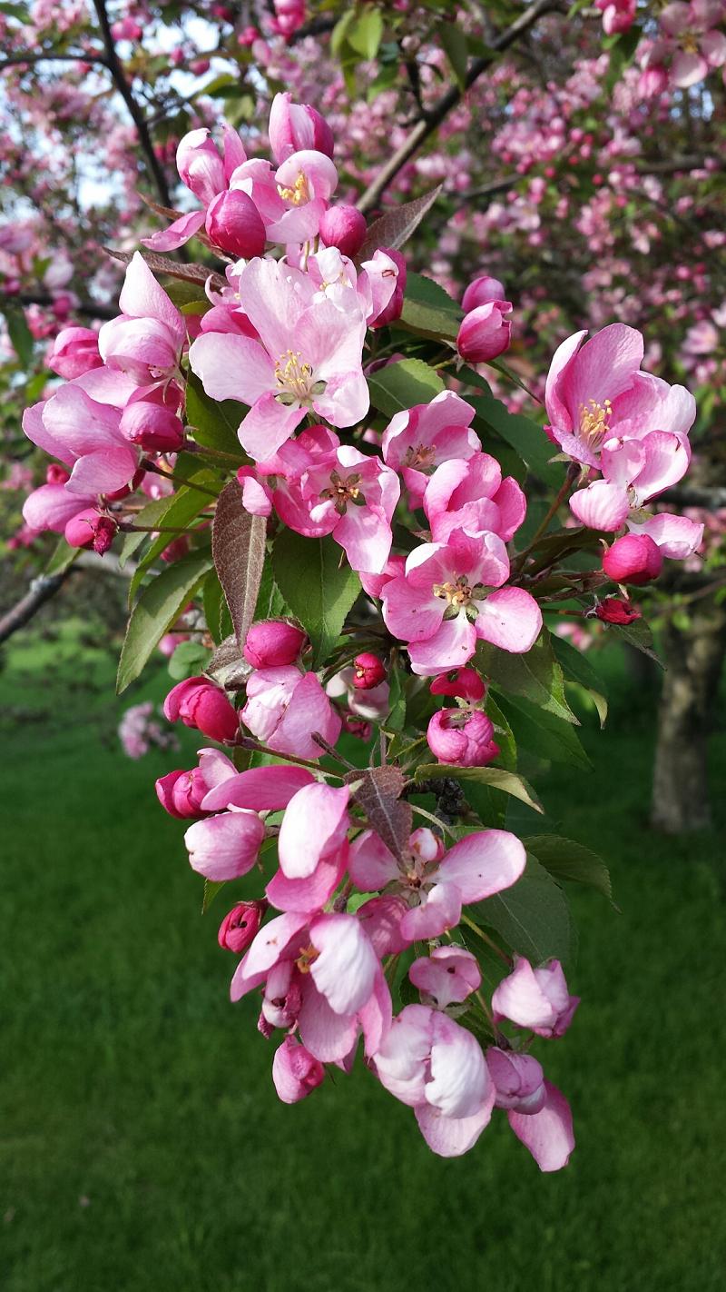 Crabapple blossoms - Fleurs de pommetier