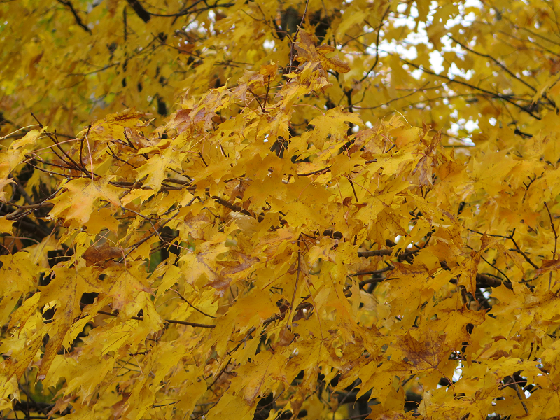 Érable jaune - Yellow Maple