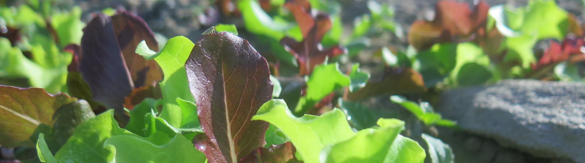 Jeunes plants - Young plants