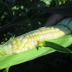 cropped-Premier-maïs_First-corn-e1470110938727.png