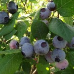 Bleuets hâtifs – Early Blueberries