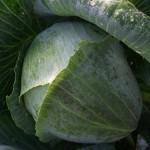 Chou par un matin froid - Cabbage on a Chilly Morning