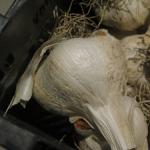 Ail éléphant - Elephant Garlic