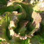 Laitue 1 - Lettuce 1