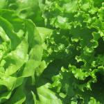Laitues vertes - Green Lettuces