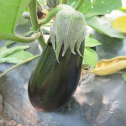 Aubergine 2015 - Eggplant 2015