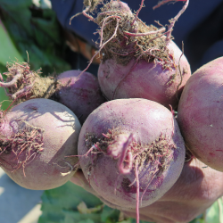 Botte de betteraves - Bunch of Beets