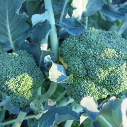 Brocoli X 2 - Double Broccoli