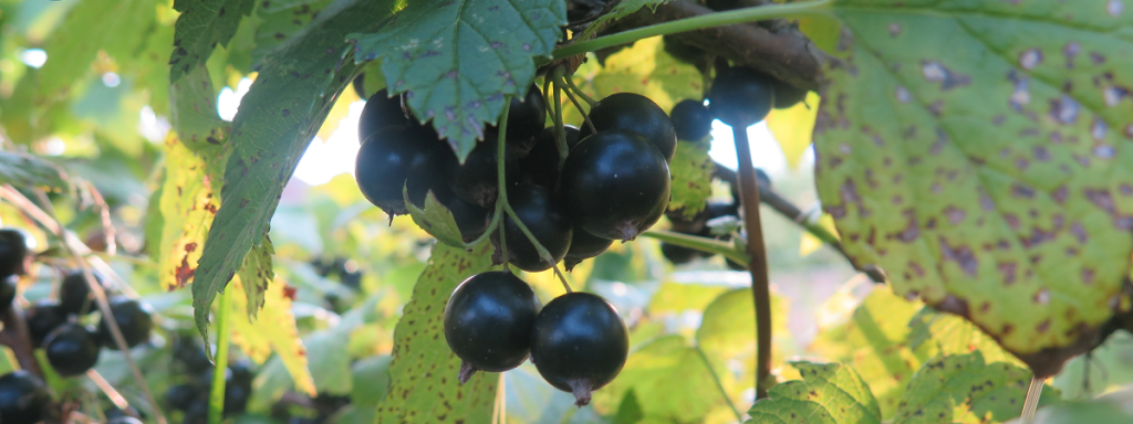 Cassis - Black Currants