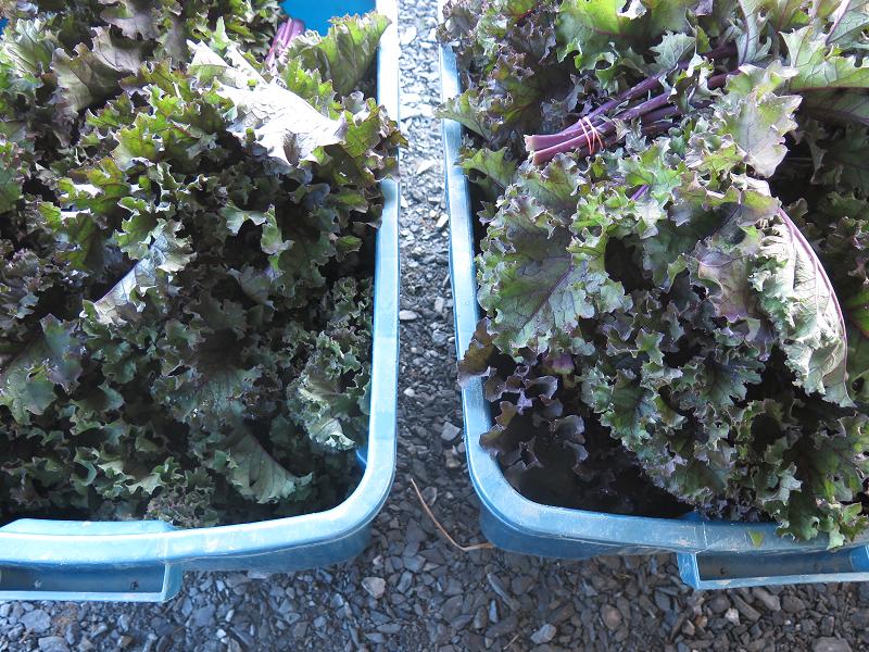 Chou frisé en abondance - Kale Galore