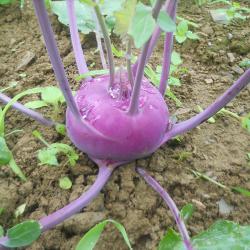 Chou rave mauve - Purple Kohlrabi
