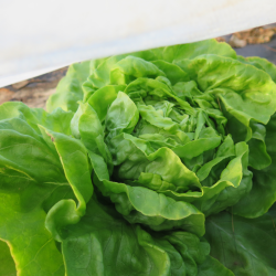 Laitue 'Optima Butterhead' Lettuce