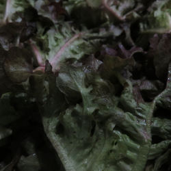 Laitue rouge d'automne - Fall Red Lettuce