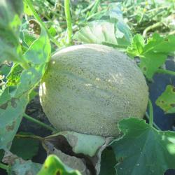 Melon solitaire - Solitary Melon