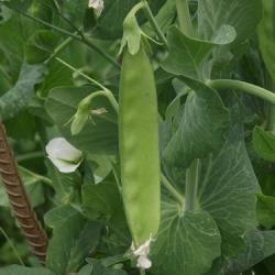Pois mange-tout - Snow Peas