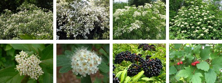Dogwood, ninebark, elderberry, highbush cranberry - Cornouiller, physocarpe, sureau, viorne
