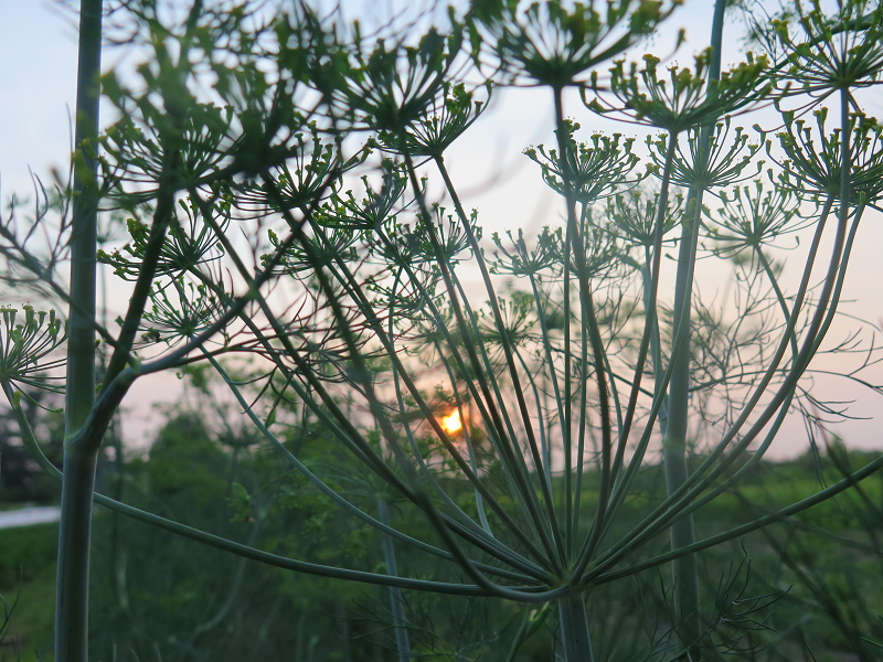 Aneth au soleil couchant_Sunset Dill