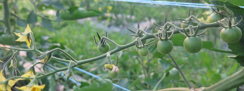 Tomates mûrissantes_Ripening Tomatoes