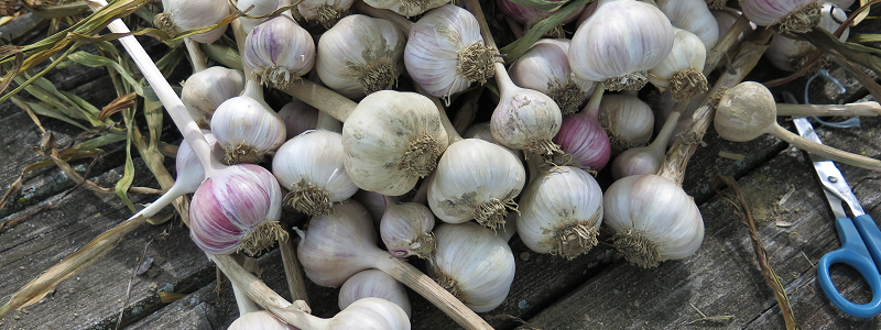 Nettoyage de l'ail - Garlic Cleaning