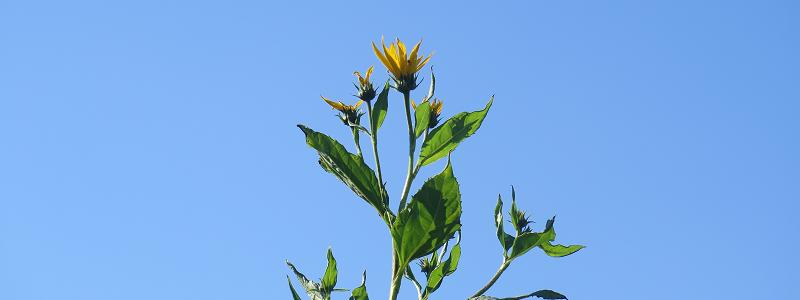 Fleur de topinambour - Jerusalem Artichoke Flower