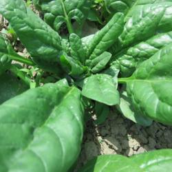 Spinach 2017