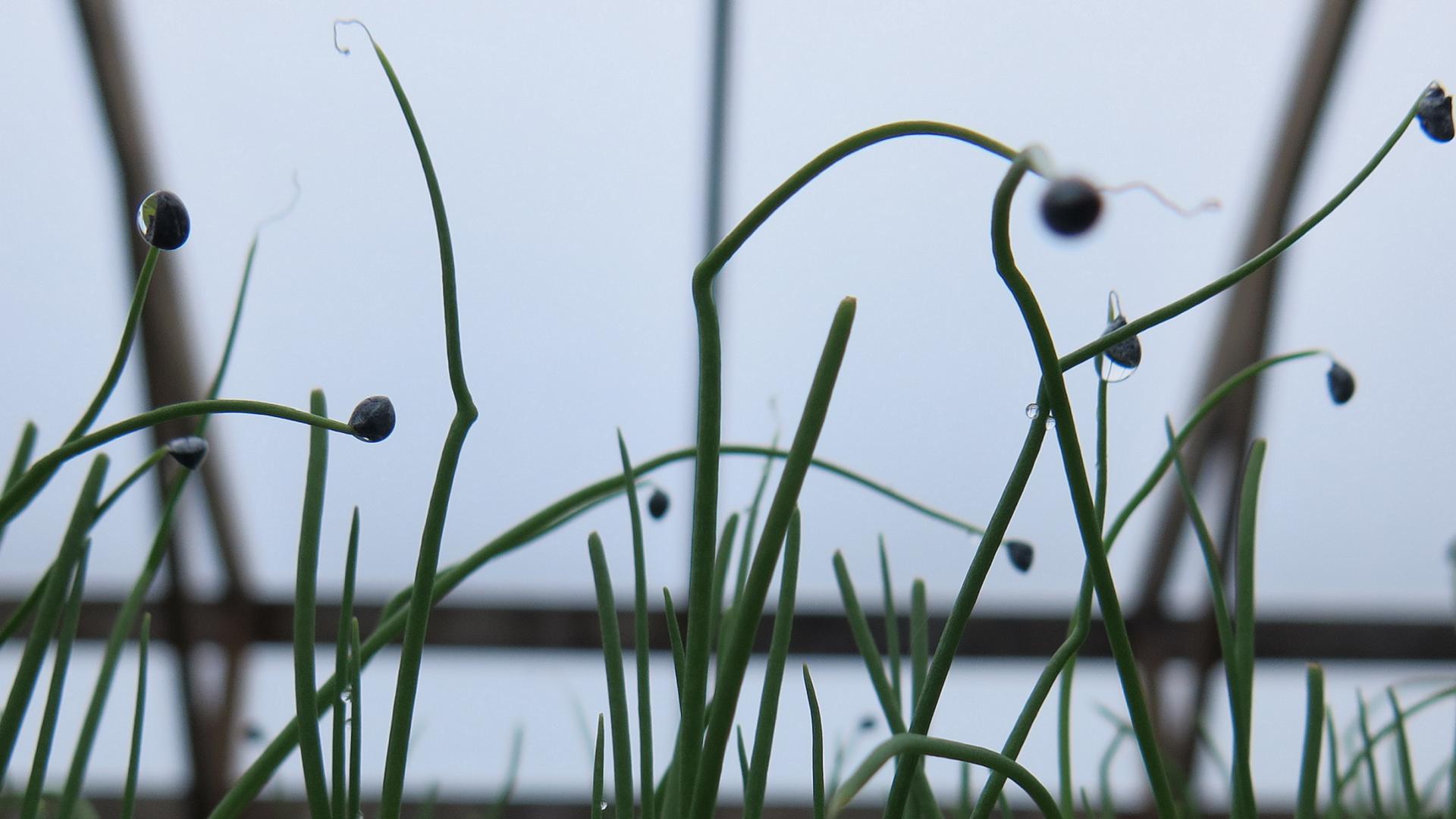 Danse des alliacées - Dancing Alliums