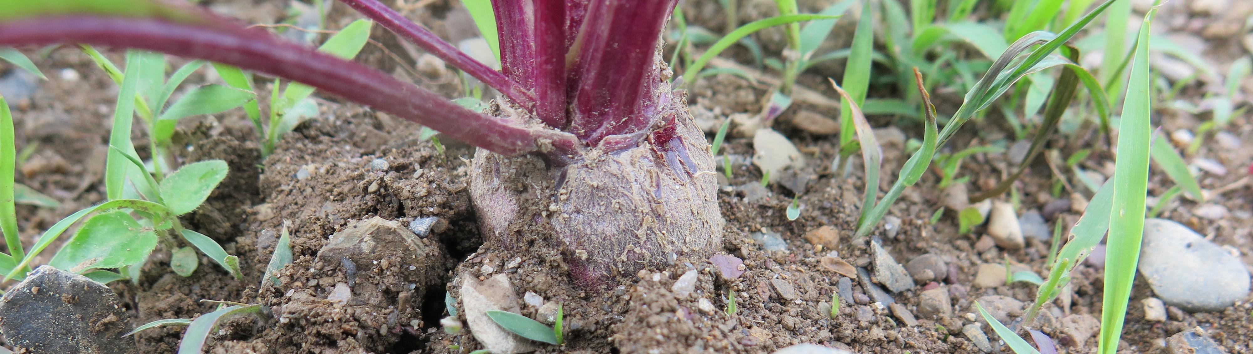 Petite betterave - Baby Beet