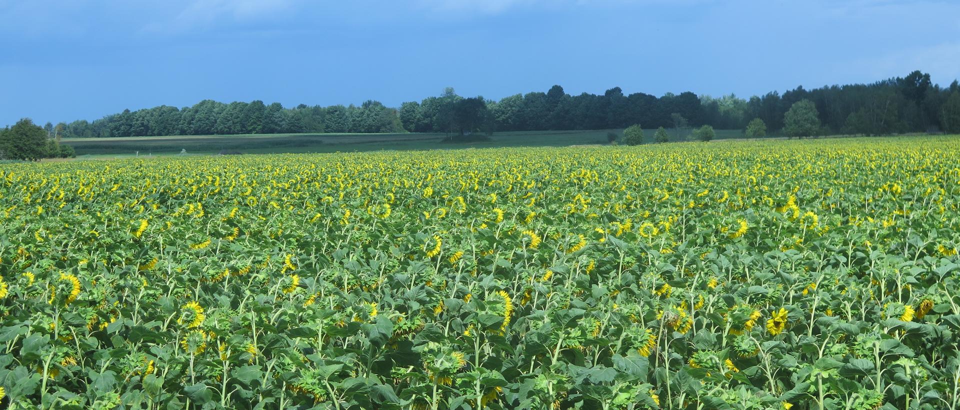 Champ de tournesol - Sunflower Field