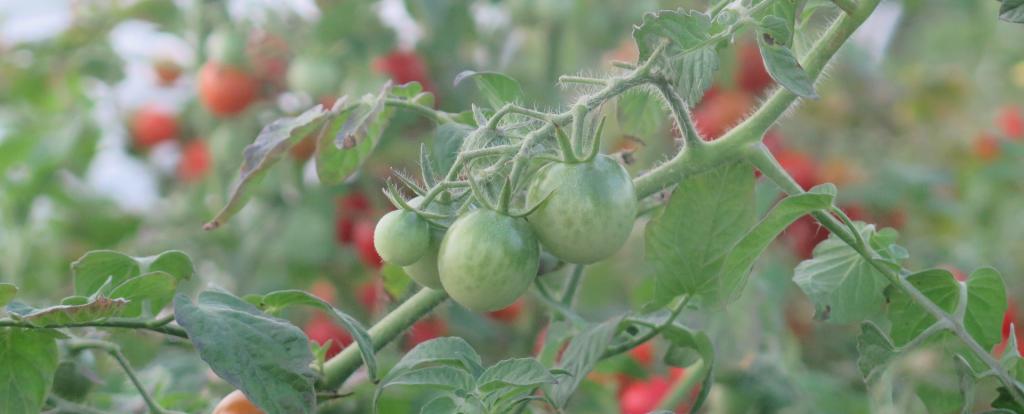 Histoire de tomate - Tomato Tale
