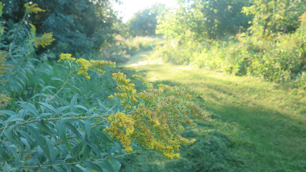 Verge d'or - Goldenrod