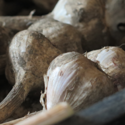 Garlic crop 2018