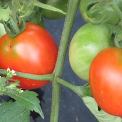 Glacier tomatoes