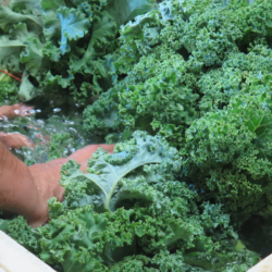 Kale, Chillin' BIS