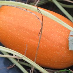 Orangegetti