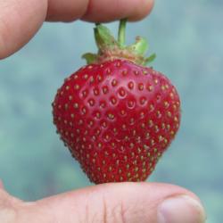 Belle fraise II
